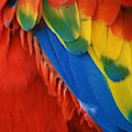 Macaw Feathers V by Rob Hans