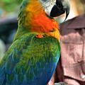 Macaw Profile by Kae Cheatham