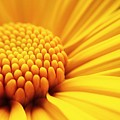 Macro Shot Yellow Flower Background by Madcat madlove