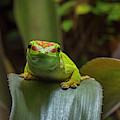 Madagascar Day Gecko by Arterra Picture Library