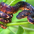 Madagascar Ground Boa Acrantophis by Panoramic Images