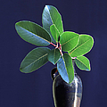 Madrone Tree Leaves In Vase On Table by Diane Miller