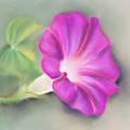 Magenta Morning Glory And Leaf by MM Anderson