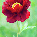 Magnificent Crimson Peony by Anita Pollak