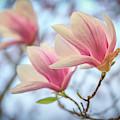 Magnolia Blossoms by Kristen Wilkinson