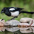 Magpie In Profile On The Rocks At The Pond by Torbjorn Swenelius