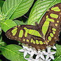 Malachite Beauty Butterfly 6402-040619 by Tam Ryan