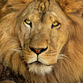 Male African Lion Portrait Wildlife Rescue by Dave Welling