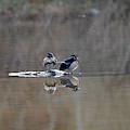 Male And Female Wood Ducks On Island by Dan Friend