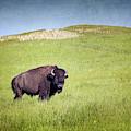 Male Bison Evening Light by Joan Carroll