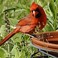 Male Cardinal At Bird Bath