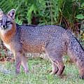 Male Fox by Larah McElroy