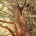 Male Gerenuk by Todd Bielby
