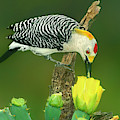 Male Golden-fronted Woodpecker Feeding Texas  by Dave Welling