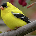 Male Goldfinch Checking Me Out by Ricky L Jones