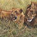 Male Lion And Lioness Resting In The Grass by Alan M Hunt