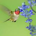 Male Ruby-throated Hummingbird Feeding Arizona by Dave Welling