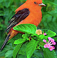 Male Scarlet Tanager On Texas Lantana by Dave Welling