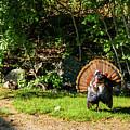 Male Tom Turkey Striking A Pose by Jeff Folger