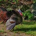 Male Turkey In Rut by Jeff Folger