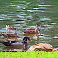 Male Wood Duck And Ducklings by Lisa Wooten