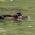 Male Wood Duck Giving The Female A Peck by Dan Friend