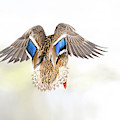 Mallard Beauty by Judi Dressler