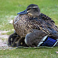 Mallard Duck And Chicks 6174-061219 by Tam Ryan