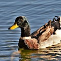 Mallard Duck Posing by Kim Bemis