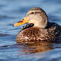 Mallard Duck Relaxing by Sue Harper