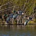 Mallards Flying By by Dwight Eddington