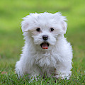 Maltese Puppy by Arterra Picture Library