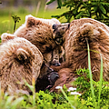 Mama Bear Nursing Her Two Cubs, Lake Clark National Park, Alaska by Lyl Dil Creations