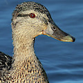 Mama Black Duck by Debbie Stahre