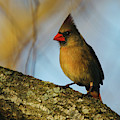 Mama Cardinal In The Willow by Ericamaxine Price