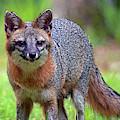 Mama Fox by Larah McElroy