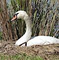 Mama Swan On Nest by Carol Groenen