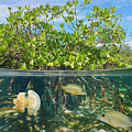 Mangrove Above And Below Water Surface by Damsea