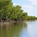 Mangroves And Oysters by Paul Rebmann