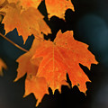Maple-1 by Charles Hite