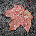 Maple Leaf In The Rain by Jim Hughes