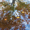 Maple Reflections by Jean Noren