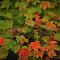 Maple Tree - Fall Color by Dale Powell