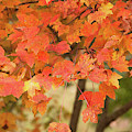 Maple Tree - Fall Foliage by Dale Powell