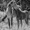 Mare And Colt Bw By Tl Wilson Photography by Teresa Wilson