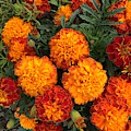 Marigold Fire by Sharon Duguay
