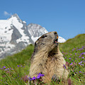 Marmot Calling by Arterra Picture Library