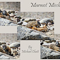 Marmot Mischief For Larger Sized Prints by Michael Chatt