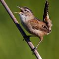 Marsh Wren April 6 by Sue Harper