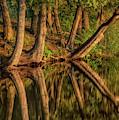 Mayflower Lake Cedars by Dale Kauzlaric